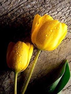 Yellow Flower Wallpaper For Mobile Best Flower Site