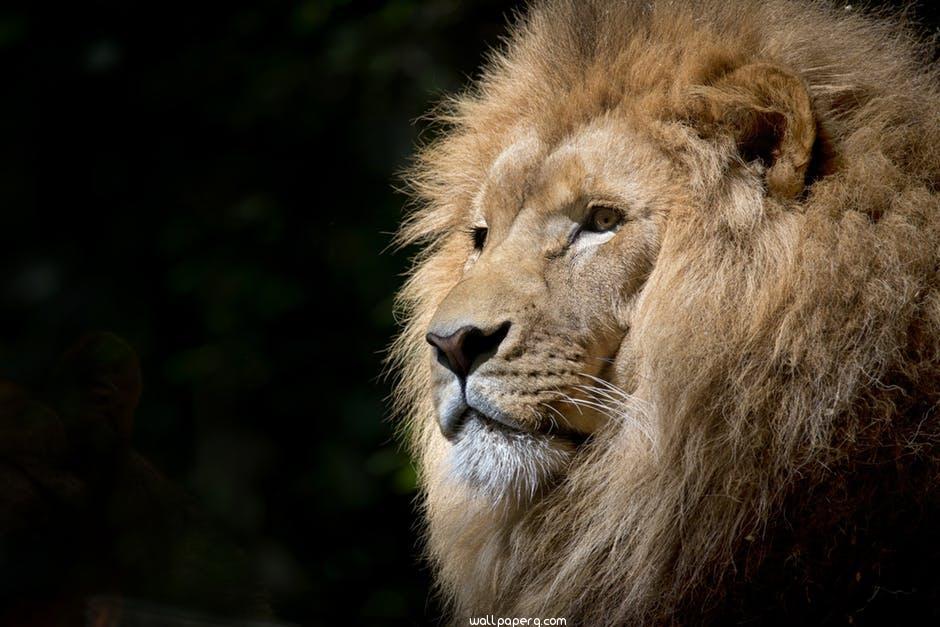 Lion wild africa african