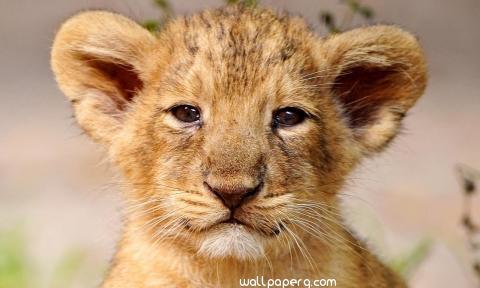 Lion baby animal