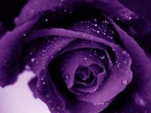 Purple rose ,wide,wallpapers,images,pictute,photos