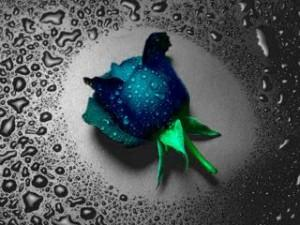Blue rose ,wide,wallpapers,images,pictute,photos