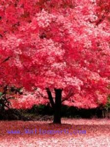 Pink tree ,wide,wallpapers,images,pictute,photos