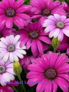Dark pink flowers ,wide,wallpapers,images,pictute,photos