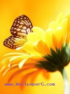 Yellow butterfly ,wide,wallpapers,images,pictute,photos