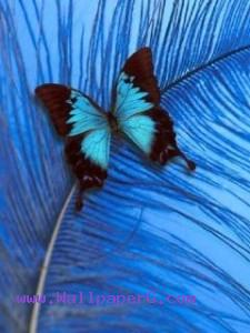 Blue butterfly on feather ,wide,wallpapers,images,pictute,photos