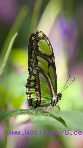 Green butterfly 1 ,wide,wallpapers,images,pictute,photos