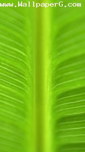Leaf 1 ,wide,wallpapers,images,pictute,photos