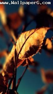 Leaf 4 ,wide,wallpapers,images,pictute,photos