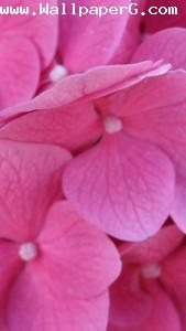 Pink flowers 1 ,wide,wallpapers,images,pictute,photos
