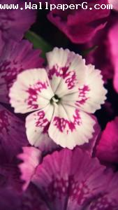 White & pink flowers ,wide,wallpapers,images,pictute,photos