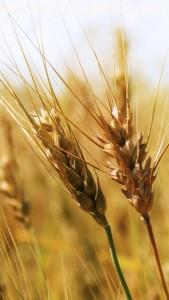 Wheat ,wide,wallpapers,images,pictute,photos