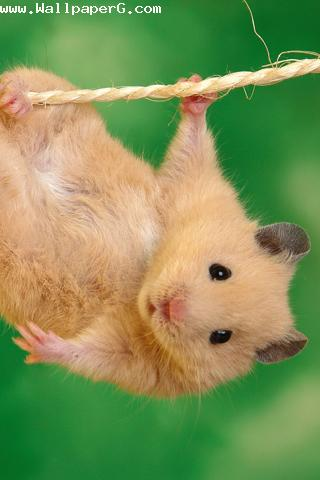 Funny hamster  ,wide,wallpapers,images,pictute,photos