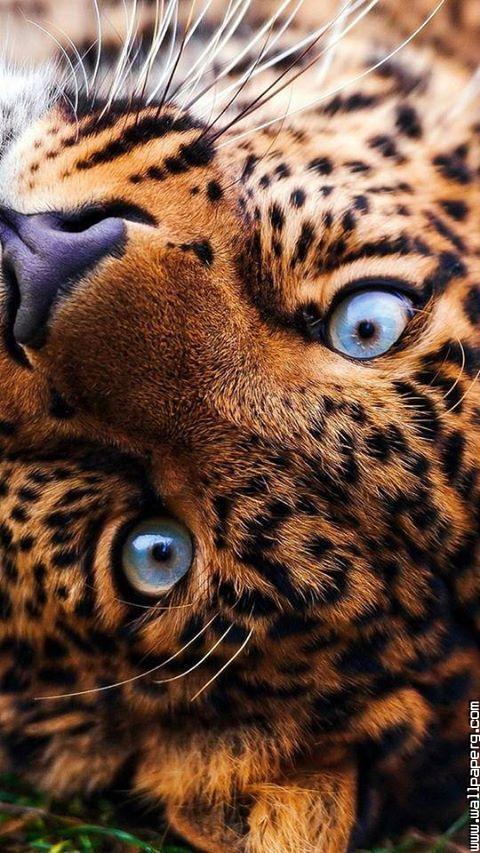 Awesome tiger eyes