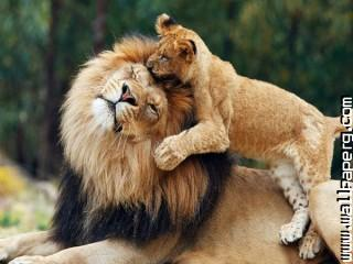 Cub and mother lioness  ,wide,wallpapers,images,pictute,photos