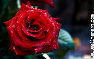 Rose day 2014 wallpaper for valentines day 1024x640 ,wide,wallpapers,images,pictute,photos