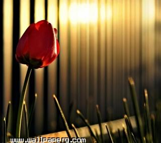 Red rose(2) ,wide,wallpapers,images,pictute,photos
