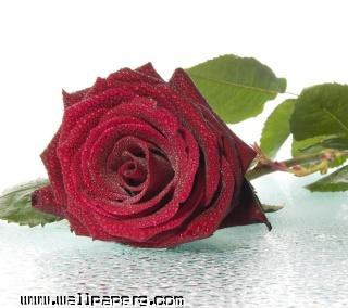 Red rose(4) ,wide,wallpapers,images,pictute,photos