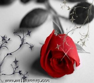 Red rose(5) ,wide,wallpapers,images,pictute,photos