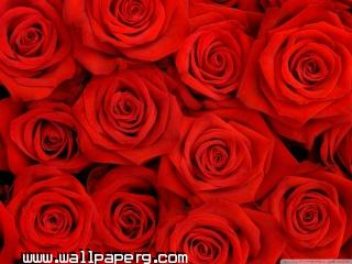 Red roses wallpaper ,wide,wallpapers,images,pictute,photos