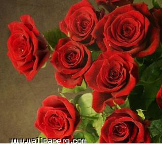 Red roses(1) ,wide,wallpapers,images,pictute,photos