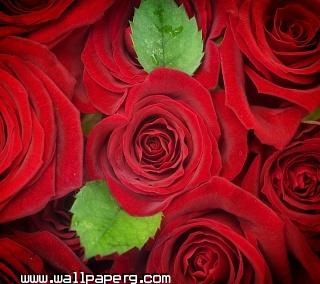 Red roses(2)(1) ,wide,wallpapers,images,pictute,photos