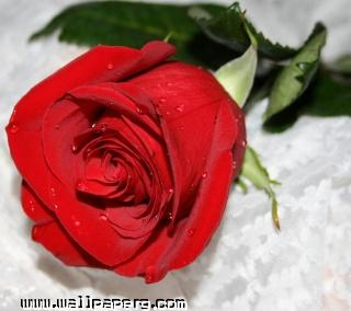 Red rose(1) ,wide,wallpapers,images,pictute,photos