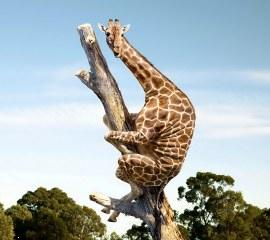 Funny giraffe ,wide,wallpapers,images,pictute,photos