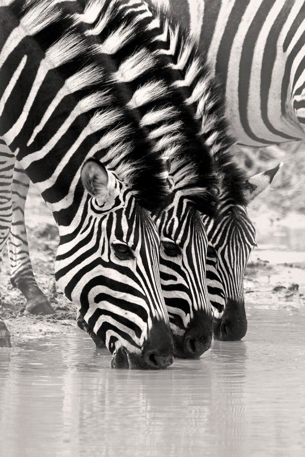 Black and white zebra ,wide,wallpapers,images,pictute,photos