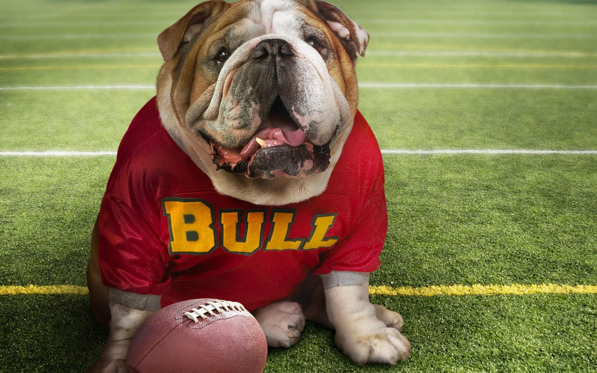 Funny bulldog ,wallpapers,images,
