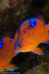 Orange blue fish