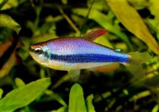 Blue red fish ,wide,wallpapers,images,pictute,photos