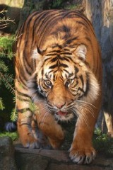 Tiger in the jungle ,wide,wallpapers,images,pictute,photos