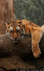 Tiger on the branch ,wallpapers,images,