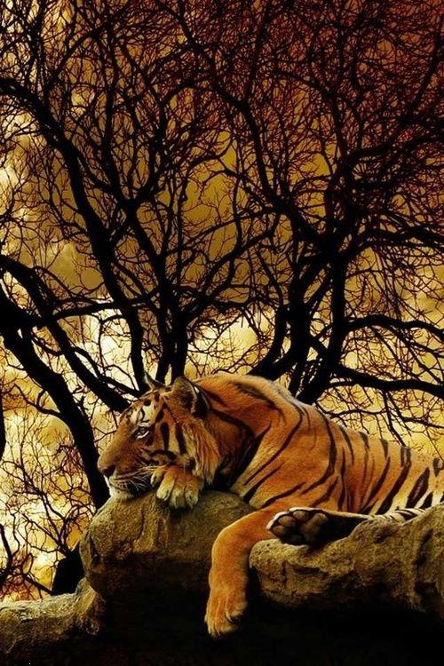 Calmtiger ,wallpapers,images,