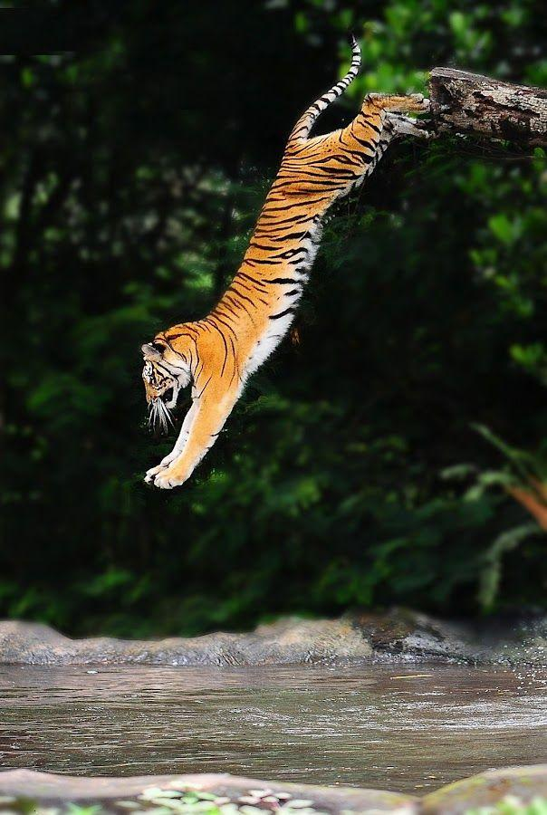 Jumping tiger ,wallpapers,images,