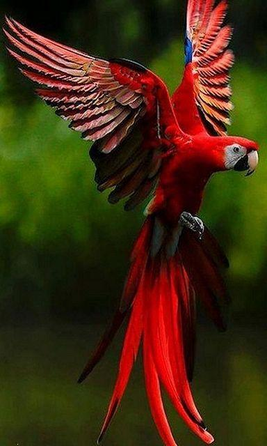 Parrot red bird ,wide,wallpapers,images,pictute,photos