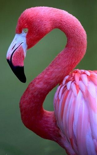 Flamingo. ,wide,wallpapers,images,pictute,photos