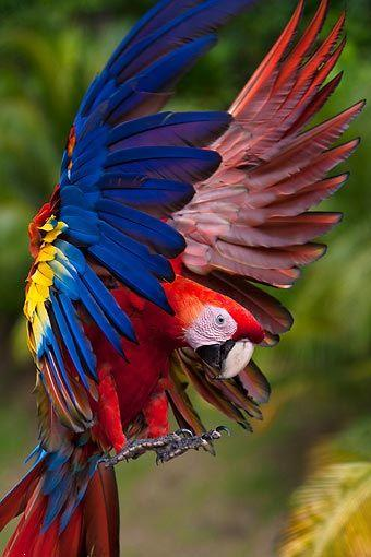 Scarlet macaw ,wide,wallpapers,images,pictute,photos