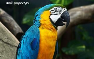 Amazing parrot ,wide,wallpapers,images,pictute,photos