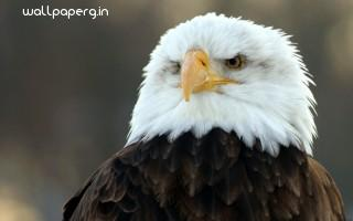 Bald eagle hd wide