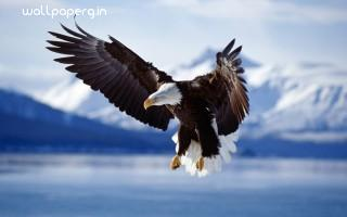 Bald eagle in flight alaska ,wide,wallpapers,images,pictute,photos