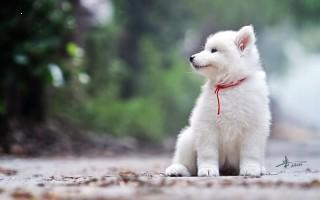 Pomeranian white dog image