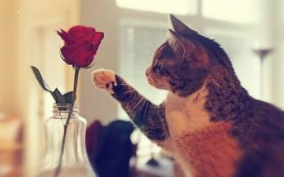 Sweet cat with rose image ,wide,wallpapers,images,pictute,photos