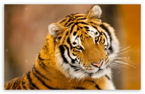 Siberian wild tiger hd wallpaper