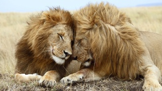 Lion couple wild animal wallpaper