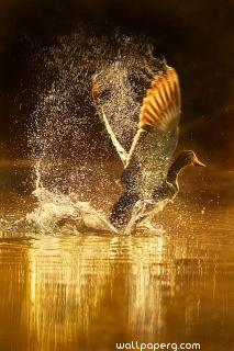 Golden bird flying ,wide,wallpapers,images,pictute,photos