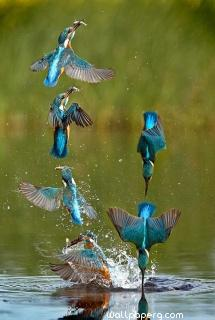 Agile kingfisher swiftly & stealthfully swoops in on prey