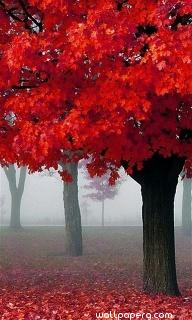 Red leaves of autumn ,wide,wallpapers,images,pictute,photos