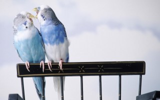 Cantankerous parakeets ,wide,wallpapers,images,pictute,photos