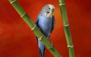 Colorful budgerigar